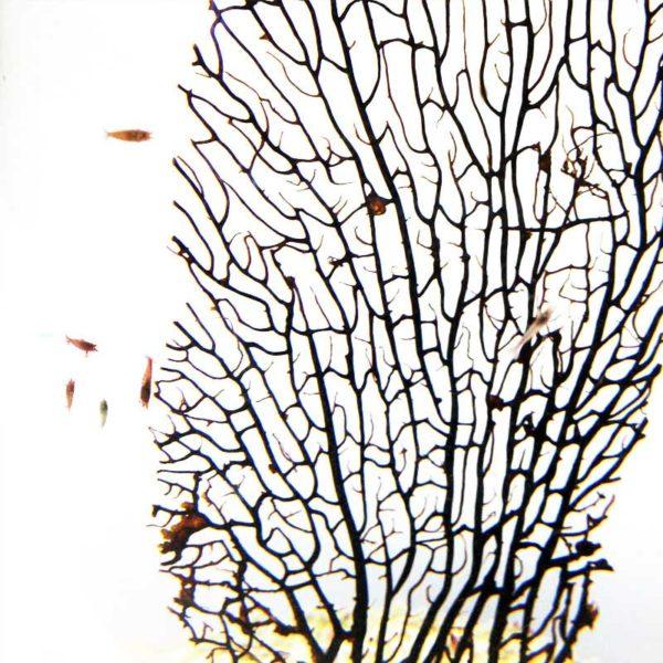 Gorgonia Ovale